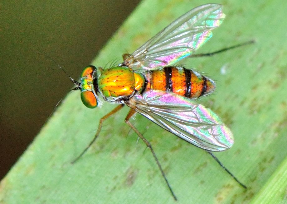 Large Green Long Legged Fly Chrysosoma Leucopogon