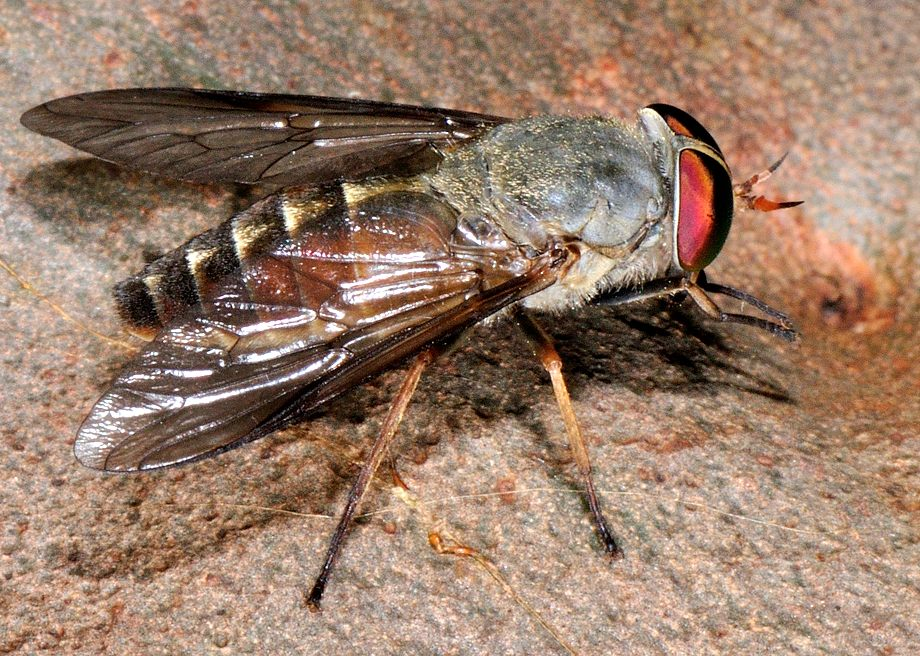 Australian Common March Fly Tabanus Australicus