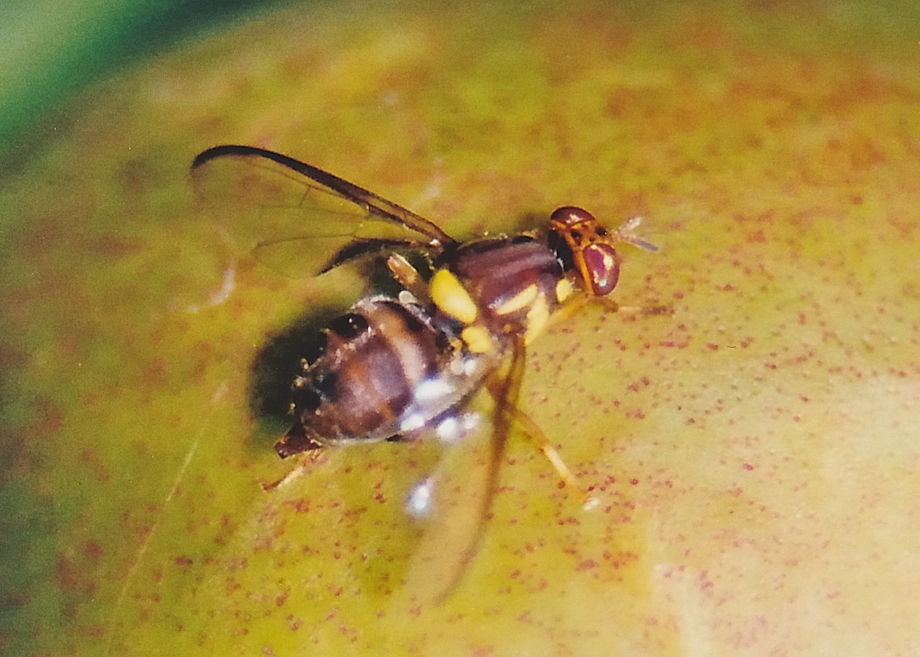 Queensland Fruit Fly Bactrocera Tryoni