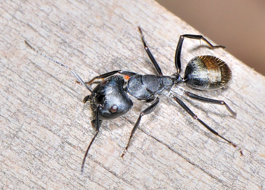 Black Headed Sugar Ant  Myrmecology  Pinterest  Black Heads Pleasing Ants In Bathroom Design Ideas