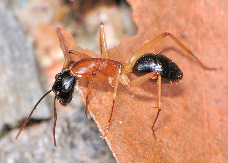 Sugar ants borax, ants black head red body