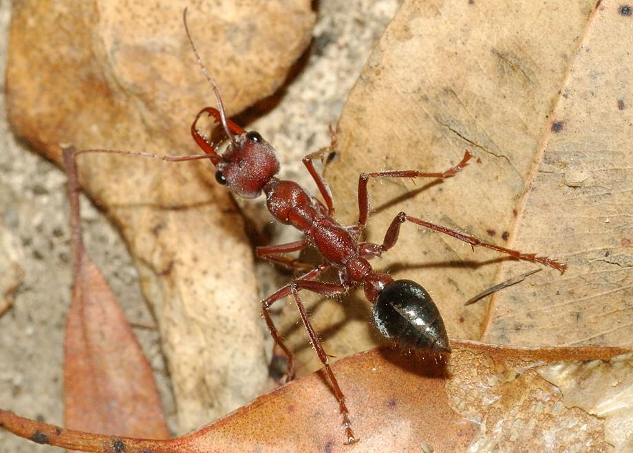 Giant Brown Bulldog Ant Queen 1 (4.5cm) | Myrmecia