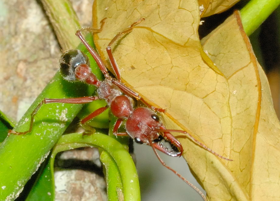 Giant Brown Bulldog Ant Queen 4 (4.5cm) | Flickr - Photo