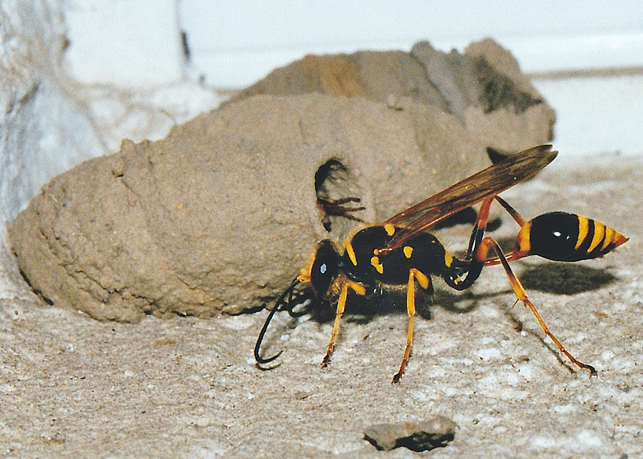 family sphecidae and crabronidae apoid wasps mud daubers and sand wasps. Black Bedroom Furniture Sets. Home Design Ideas