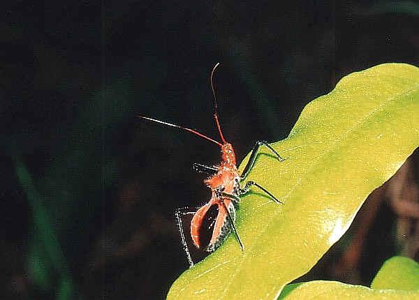 Look Up A Number >> Orange Assassin Bug - Gminatus wallengreni or Gminatus ...