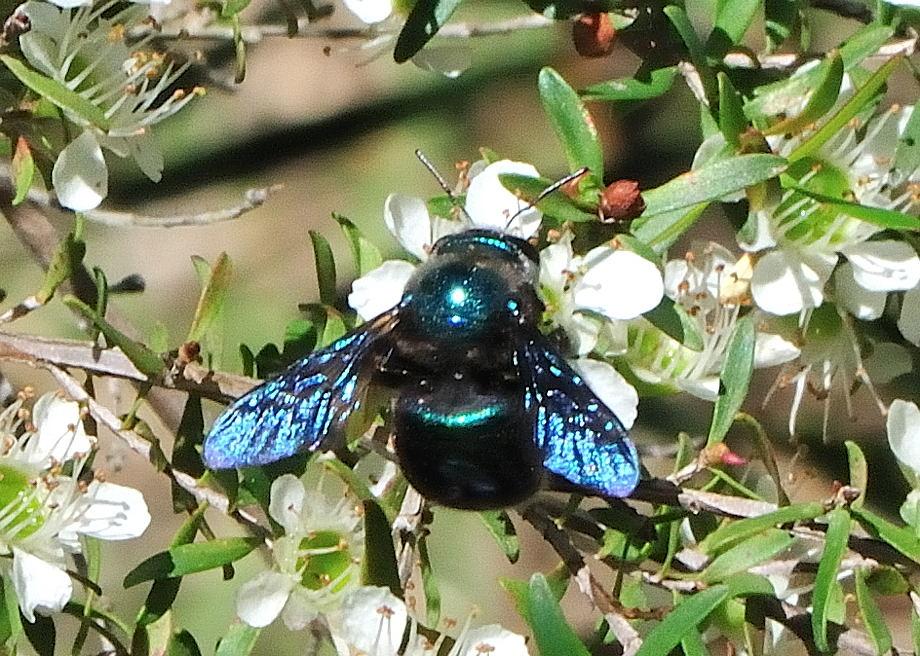 Metallic Carpenter Bee Xylocopa Lestis Bombylans