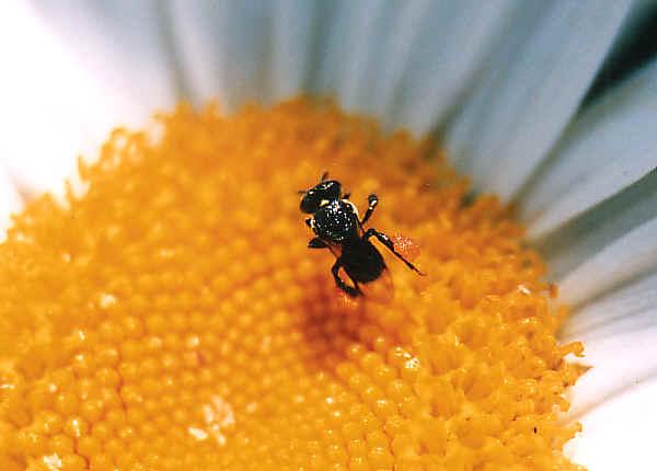 Native Stingless Bee Trigona Carbonaria