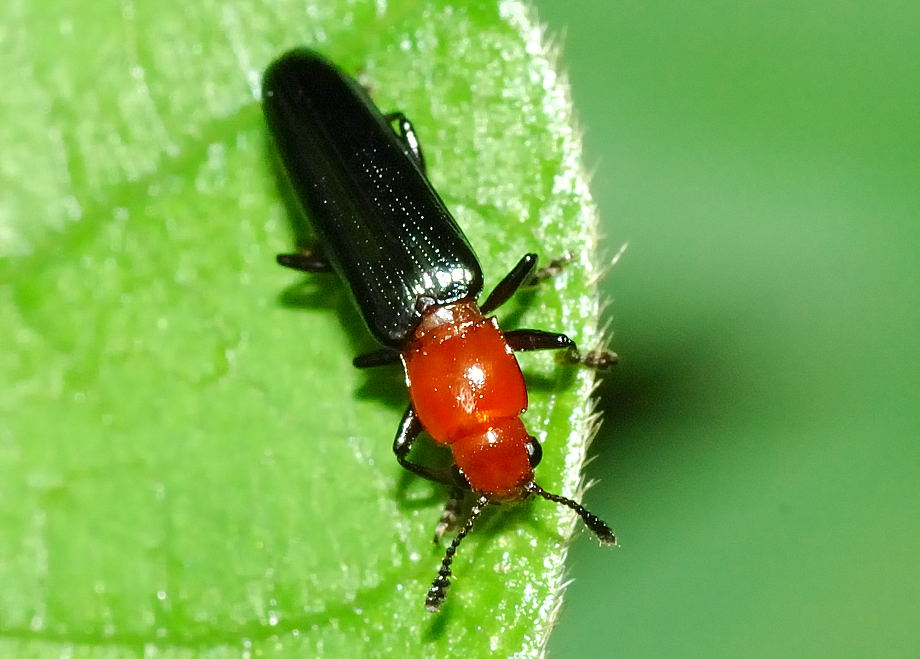 Online tools for identification of wood boring insects  NAPPO
