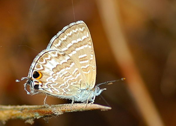 Cycad Blue Theclinesthes Onycha