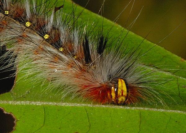 Hairy Mary Caterpillar Anthela Varia