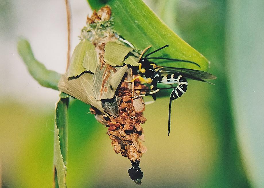 how to get rid ofaustralian bag moth pupa