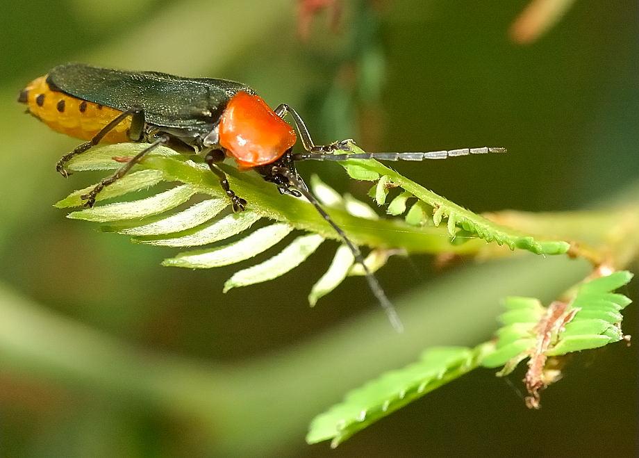 tricolor soldier beetle chauliognathus tricolor