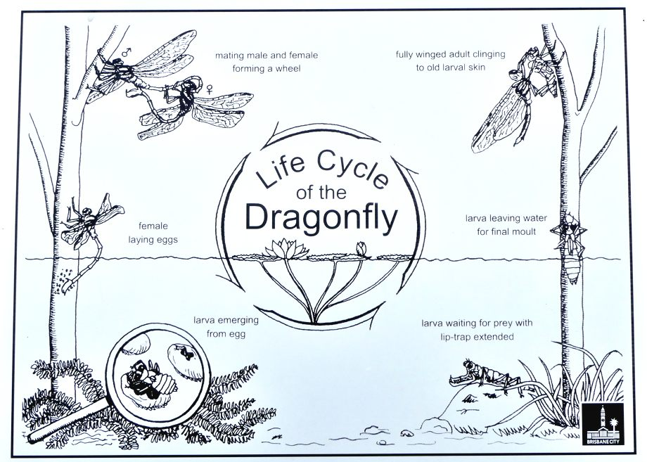 Dragonflies and Damselflies Life Cycle