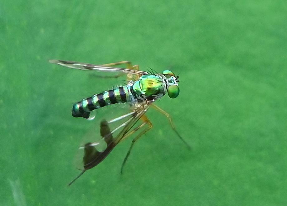 Green Long Legged Fly Ii Austrosciapus Connexus