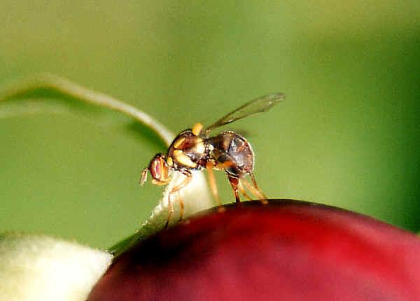 Pictures Of Fruit Flies. Fruit Flies that we found