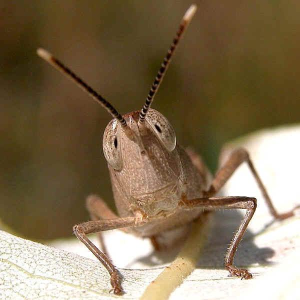 Best Grasshoppers wallpaper