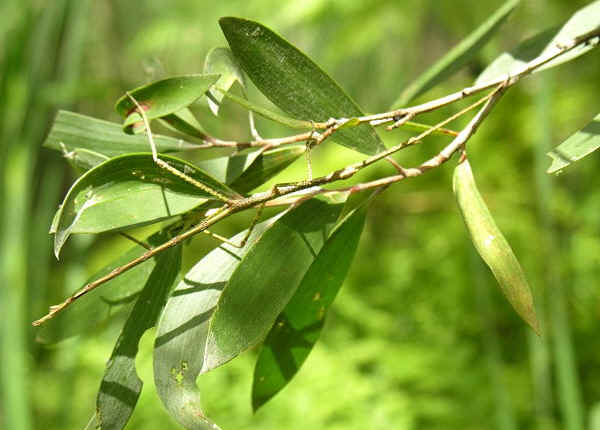 how to find stick insects in the wild