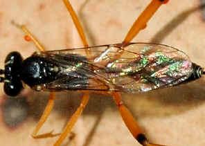 Red And Black Book >> Brown-legged Black Ichneumon Wasp - Xanthocryptus sp.