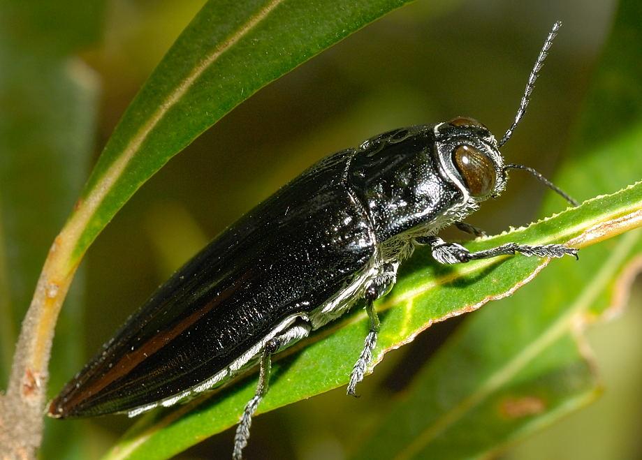 Dark Blue Banksia Jewel Beetle - Cyrioides australis ...