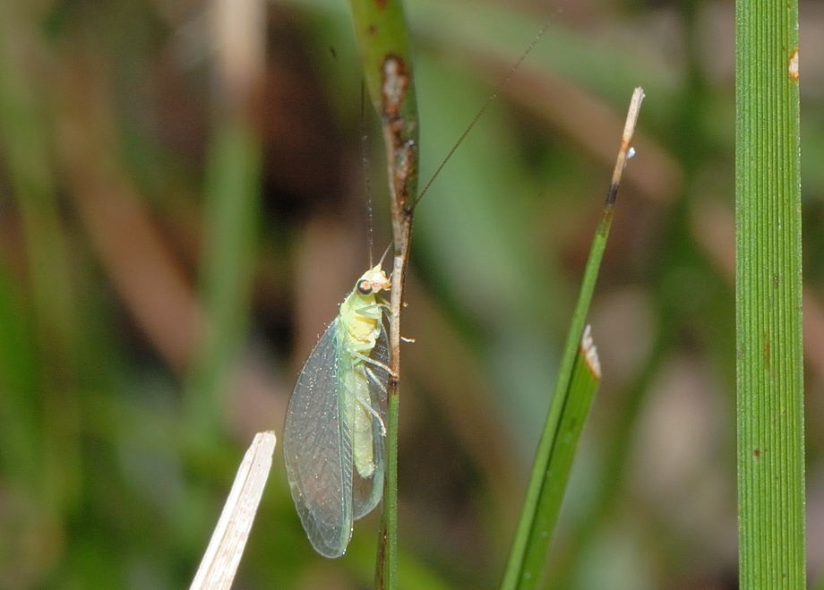 Golden Eye Green Lacewing - Chrysopa sp., Mallada sp ...