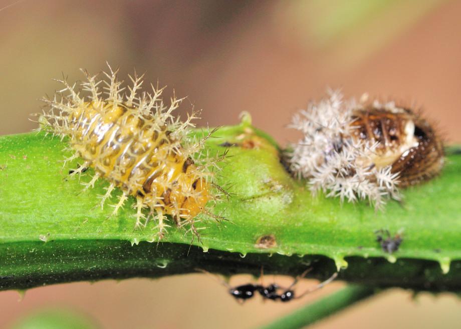 28 Spotted Potato Ladybird Epilachna Vigintioctopunctata