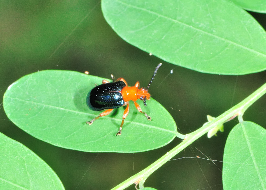 Red Wing Ford >> Orange-blue Narrow Necked Leaf Beetle - ? Lema sp.