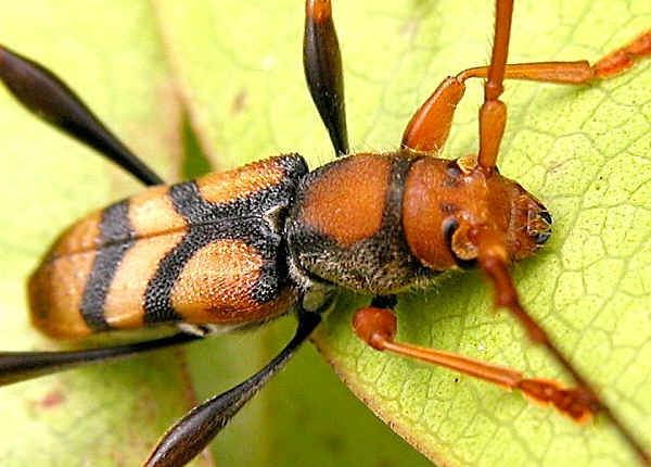 Effects of Temperature on Anoplophora glabripennis