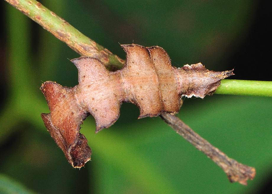 Gumtree Bizarre Lopper Moth Anisozyga Metaspila