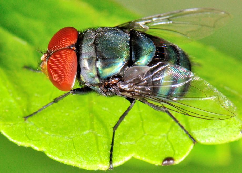 Blowfly Steelblue Bluebottle B...