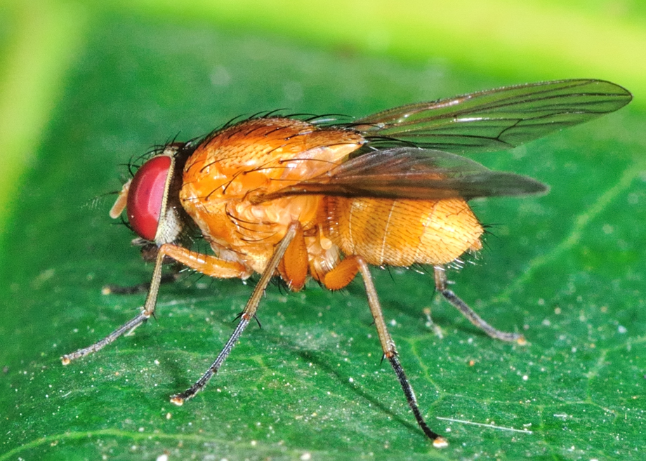 Slender Orange Bush Fly Dichaetomyia Norrisi