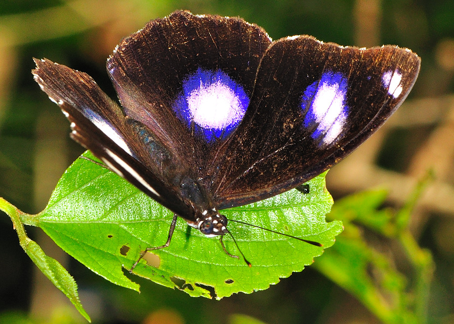 Common Eggfly Butterfly Varied Eggfly Hypolimnas Bolina