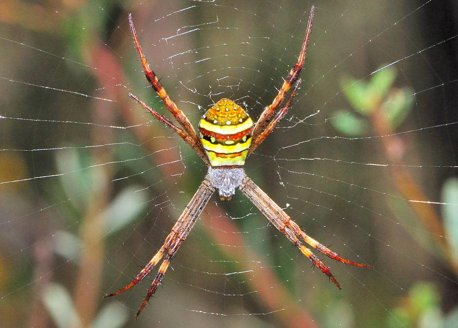 St Andrew's Cross Spider - Argiope Keyserlingi (former ...