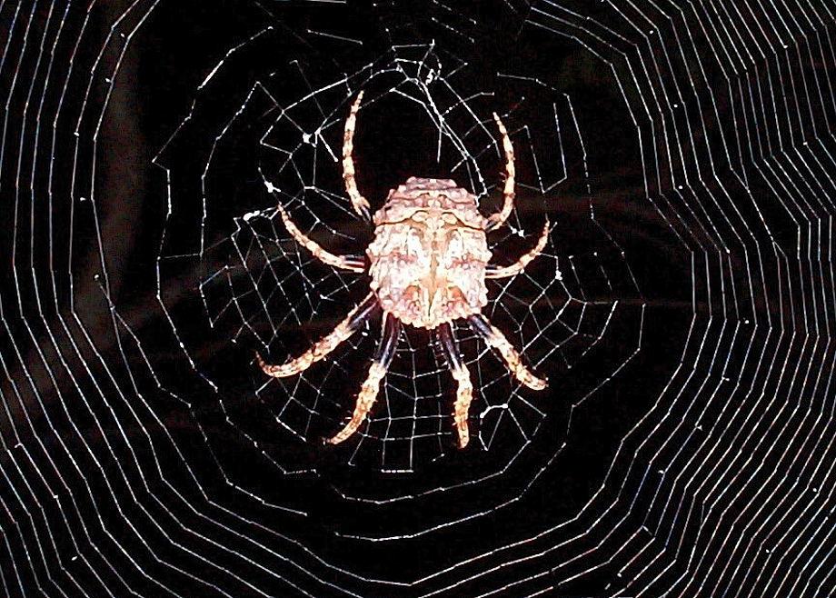 Tree-stump Spider - Poltys illepidus