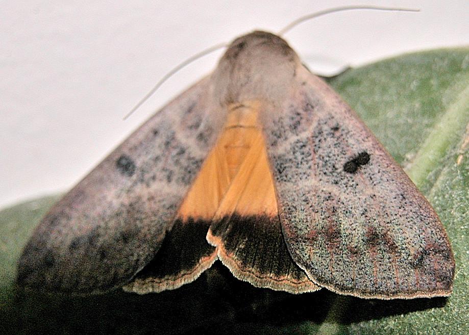 Guava Moth Ophiusa Disjungens