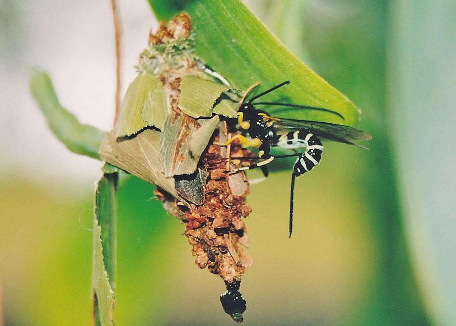 case moth larvae parasite wasp sericopimpla sp