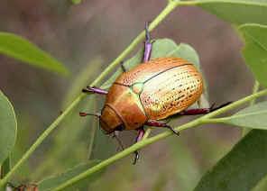 Australian Christmas Beetle.Christmas Beetles Subfamily Rutelinae