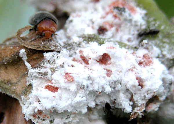 Cochineal Insects - Family Dactylopiidae Dactylopiidae