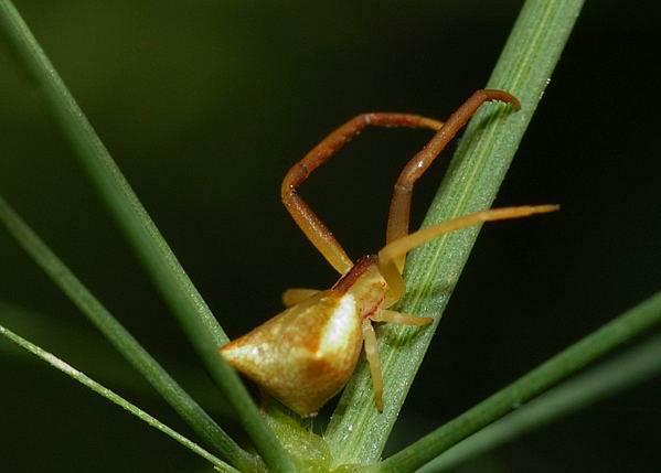 The spider is pale brown in colour with trapezia shape abdomen.