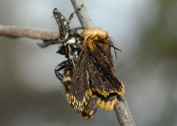 Captured a moth, a Yellow Spot Epicoma Moth Epicoma protrahens.