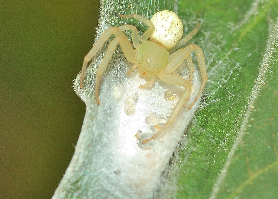 White flower spider diaea variabilis dsc8867g 147762 bytes this flower spider mightylinksfo