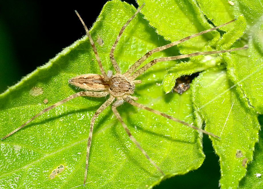 Common Water Spider Megadolomedes Sp