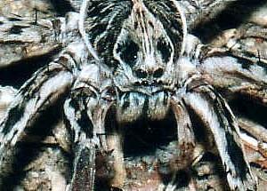 bird dung crab spider