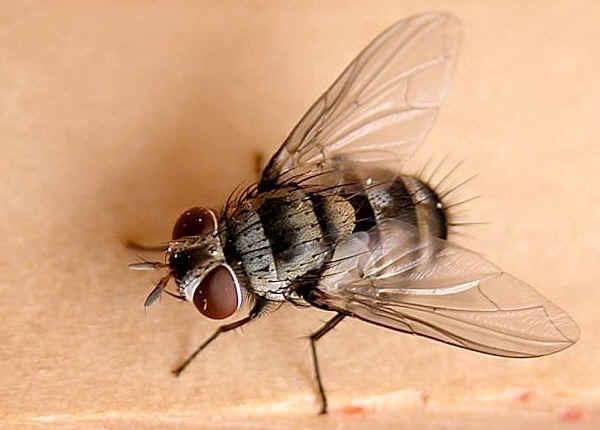Tachinid fly photo