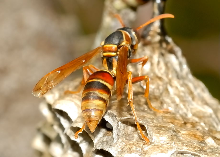 Queen Wasp Size Common Large Paper Was...
