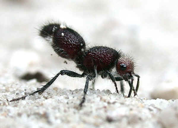 Large red hairy ants for
