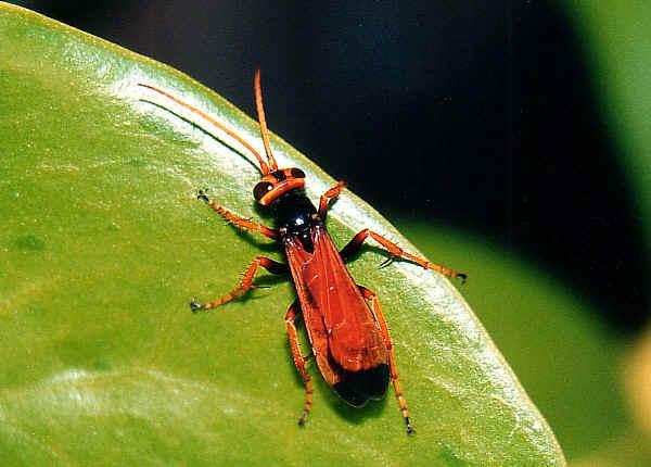 large orange and black wasps