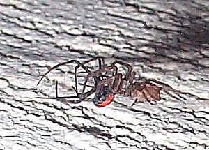 Black Widow Spider Natural Enemies
