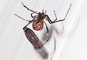 Red Back Spiders are