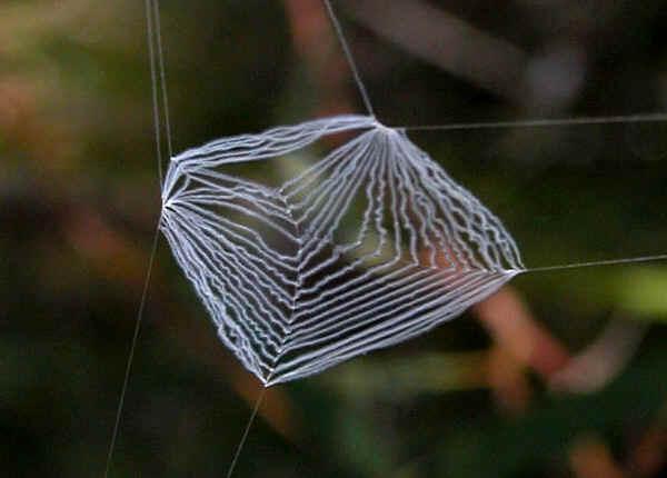 Common Net Casting Spider Deinopis Ravidus