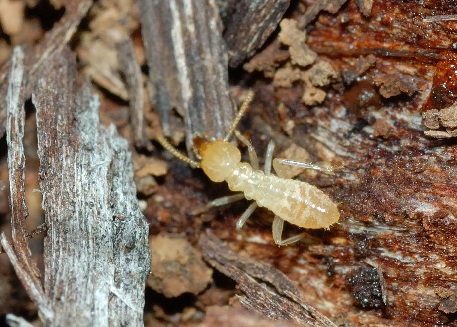 termites white ants order isoptera